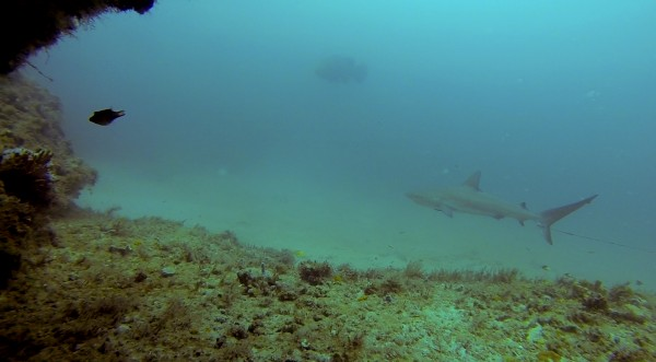 grouper and lemon shark