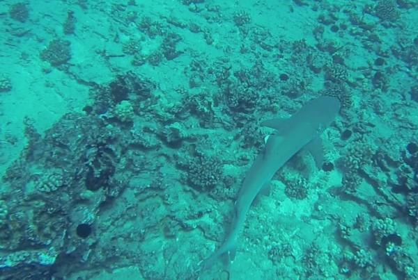 white-tip reef shark - Hawaii